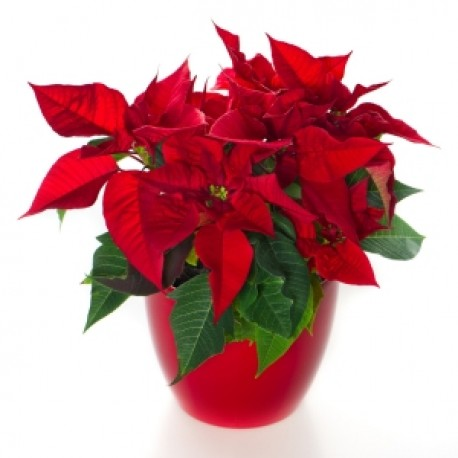 Poinsettia Potted